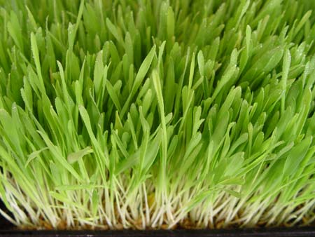 nutrients-barley-grass2