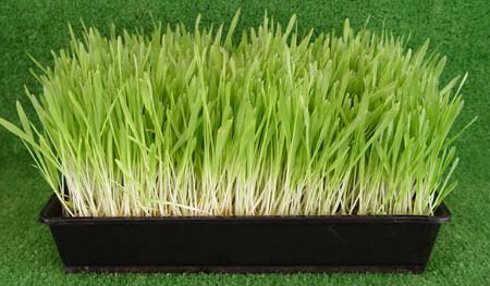 why-barley-grass4